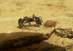 مورچه و عنکبوت